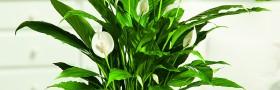 14237126PA Spathiphyllum Patite