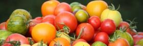 Heirloom Seedlings, Tomatoes, Pohlmans, Toowoomba